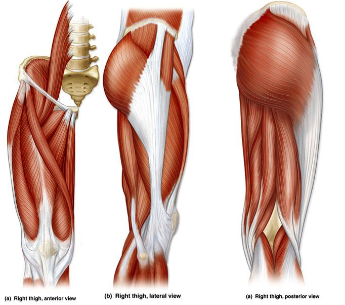 Upper Leg Quadriceps Muscles Diagram - Block And Schematic Diagrams •